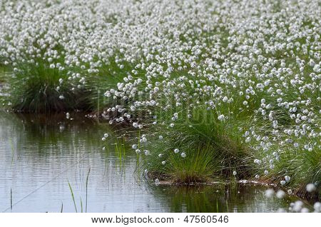 Flowering Cotton Grass in the Swamp.