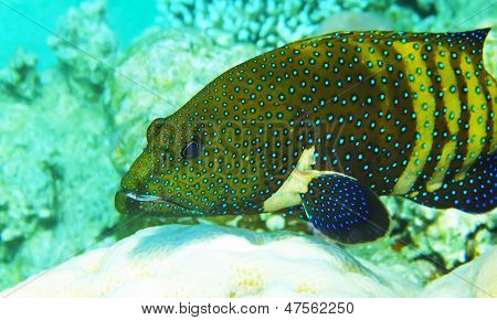 Mimic Roundhead Underwater Red Sea