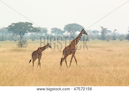 Young Giraffe And Mother