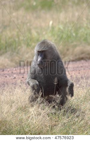 Male Olive Baboon (papio Anubis) Sitting