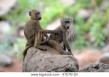 Young Olive Baboons (papio Anubis) Grooming