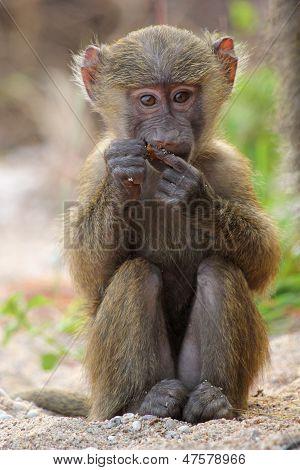 Baby Olive Baboon (papio Anubis) Sitting