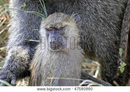 Young Olive Baboon (papio Anubis)