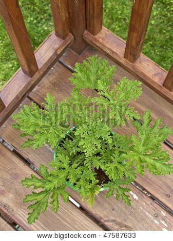 Citronella Plant On A Deck