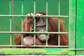 stock photo of orangutan  - adult orangutan looking sad in green cage - JPG