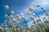 picture of tall grass  - Flowering cotton grass on a background of blue sky - JPG