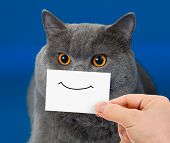 stock photo of portrait british shorthair cat  - funny cat portrait with smile on card - JPG