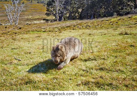 Wombat On The Move