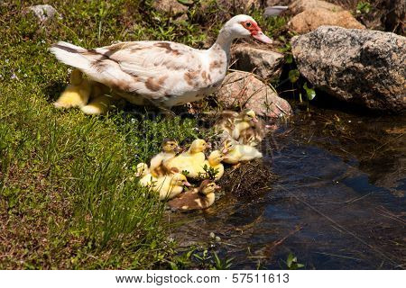 Mother Duck With Babies