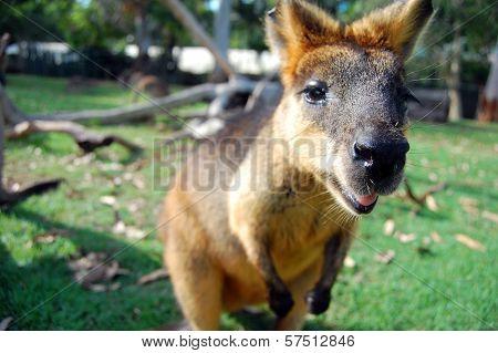 Wallaby At Park