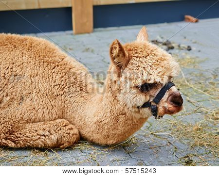 Portrait Of Young Alpaca