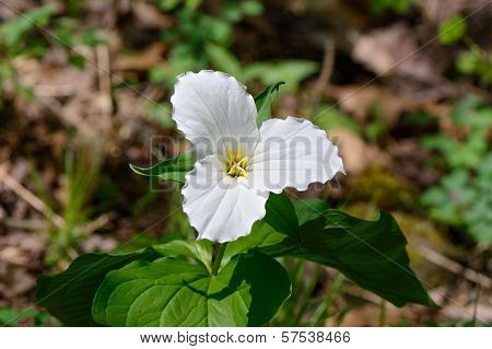 Lone Trillium Close Up