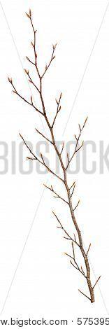 Dry Beech Branch