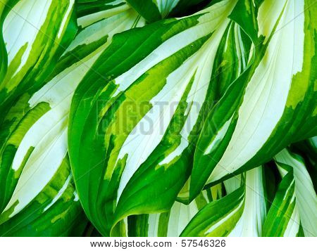Hosta plant leaves
