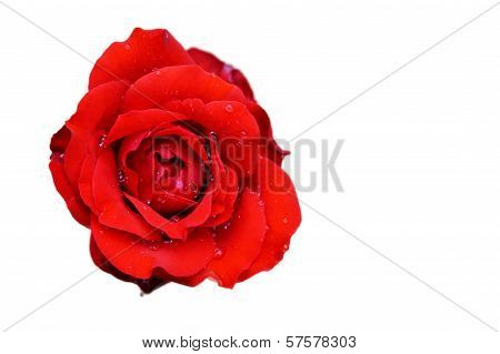 Red Fountain Rose