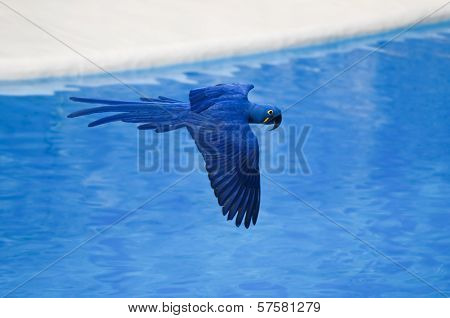 Blue Colored Tropical Parrot