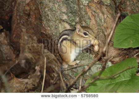 Chipmunk Eastern