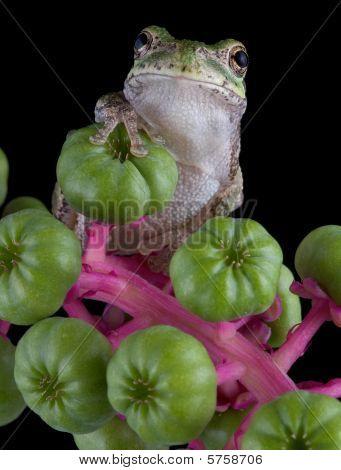 Tree Frog On Poke Weed