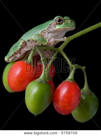 Tree Frog On Berries
