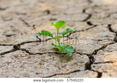 Green Tree Growing Through Dry Cracked Soil