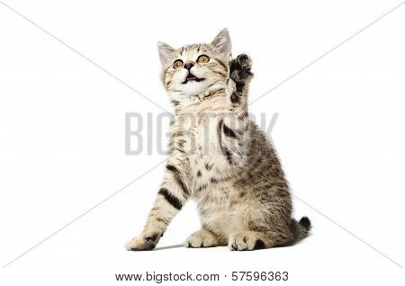 Playful kitten Scottish Straight sitting with paw raised up