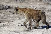 picture of hyenas  - Spotted Hyena in Etosha National Park - JPG