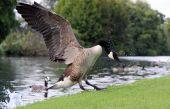 stock photo of canada goose  - Canada  - JPG