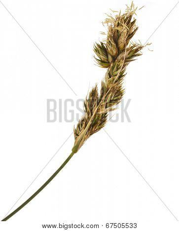 Blossoms of SAND SEDGE Carex grass plant  (lat. Carex arenaria) (Cyperaceae)  Isolated on white background