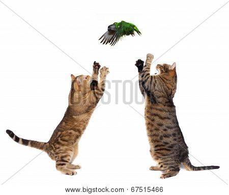 Two adult cats catching bird on white