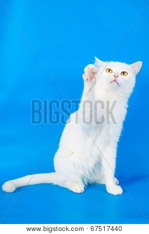 Mixed-breed cat on blue