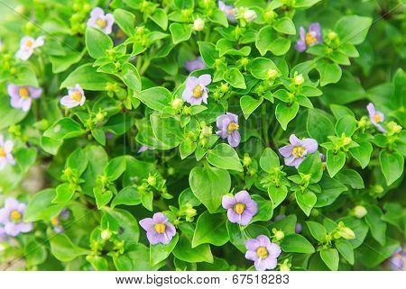Small Vilolet Flower  -  Persian Violet
