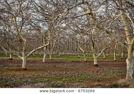 Almond Orchard In Winter