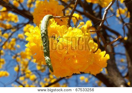 Yellow Flower Of Tree Tabebuia Aurea