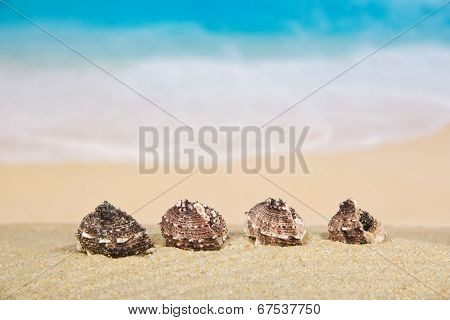 Beautiful sea cockleshells