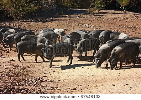 Italian Breed Of Pigs