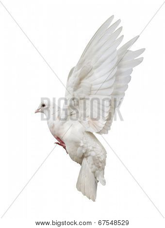 photo of flying dove isolated on white background