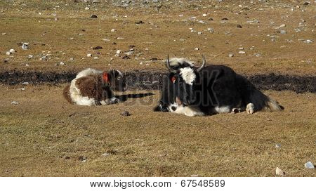 Yak Mother With Calf