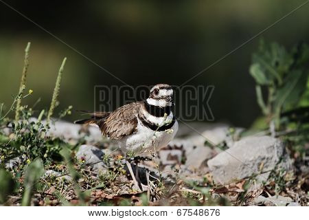 Killdeer In The Wild