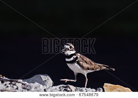 Male Killdeer
