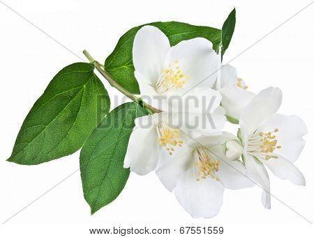 Blooming jasmine flower with leaves isolated on a white background.