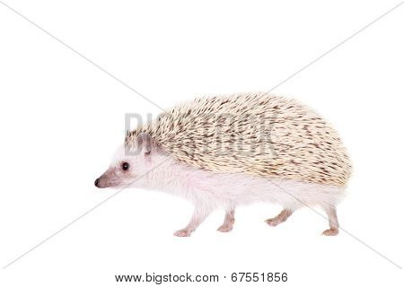 Domesticated hedgehog or African pygmy