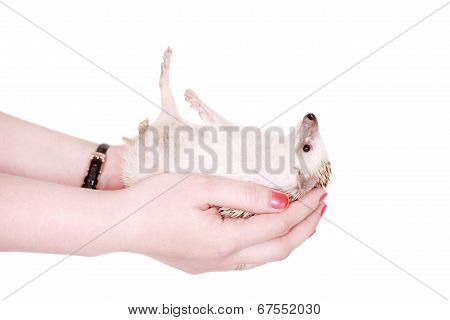 Domesticated hedgehog or African pygmy in hand