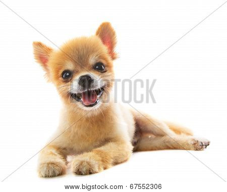 Lovely Acting Of Pomeranian Puppy Dog Isolated White Background Use For Pets ,adorable Animals Theme