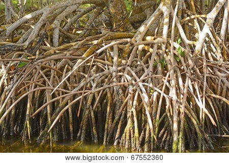 Red Mangrove Roots In The Tropics