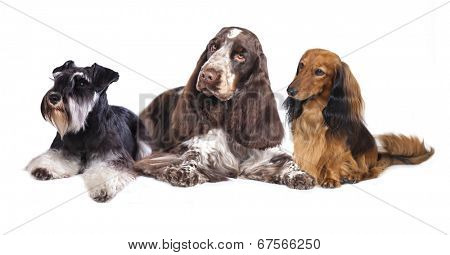 Group of dogs sitting in front of a white background