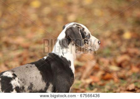 Adorable Louisiana Catahoula Puppy