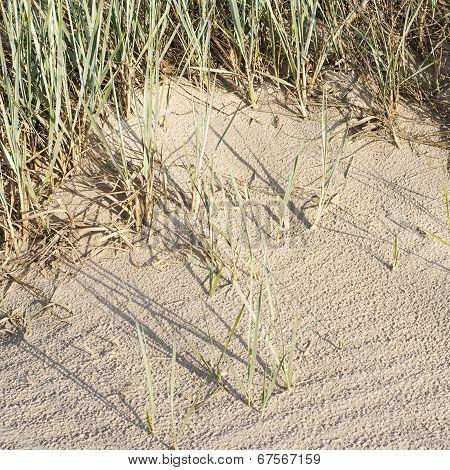 Beachgrass In Dunes Near The Sea