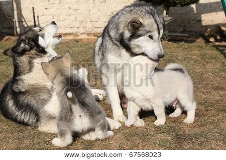 Alaskan Malamute Parents With Puppies