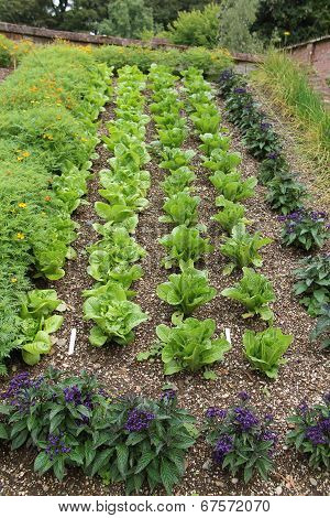 Rows of Lettuce.
