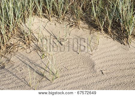 Beachgrass In Dunes Near The Sea